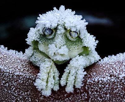 wood frog frozen