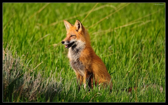 Red-Fox-red-foxes-13290271-1920-1200